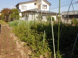 枝豆移植1