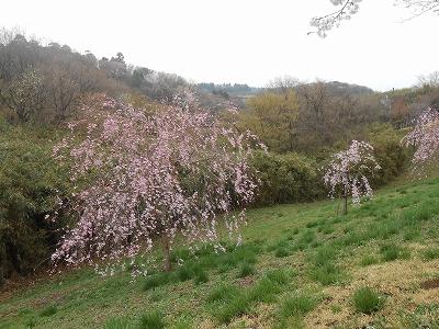 成田の桜1