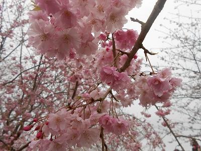 成田の桜3