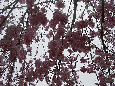 成田の桜2
