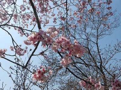 高崎川の桜