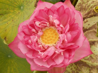 はすの花3
