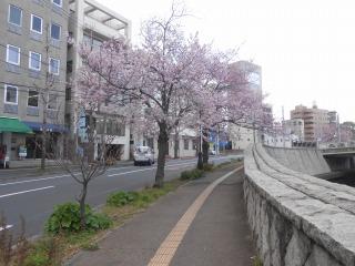 事務所前の桜の木1