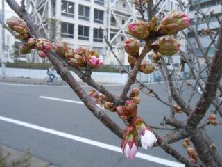 小さな桜の木2
