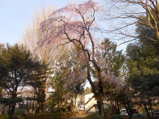 ICUの桜2