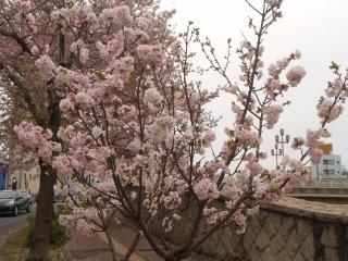 10日の桜