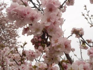 事務所前の桜2