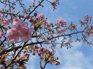 県庁近くの桜1