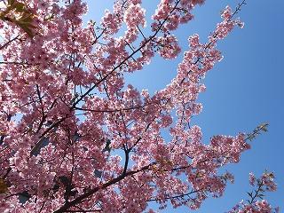 菜の花プラザ前の桜