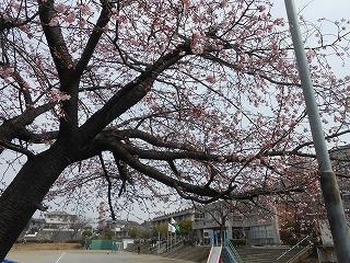 間野台小の桜1