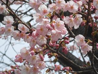 間野台小桜2