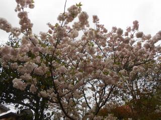大崎台の八重桜