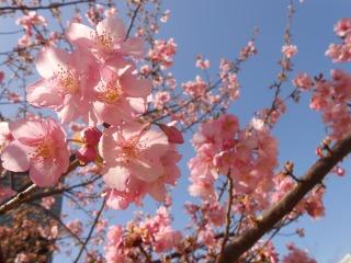 菜の花プラザの桜