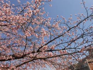 間野台小の桜2