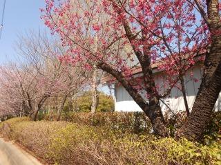 間野台小の桜