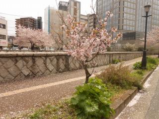 県ネット前の桜