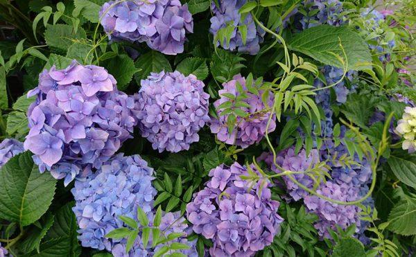 県庁までの道々で見かけた紫陽花