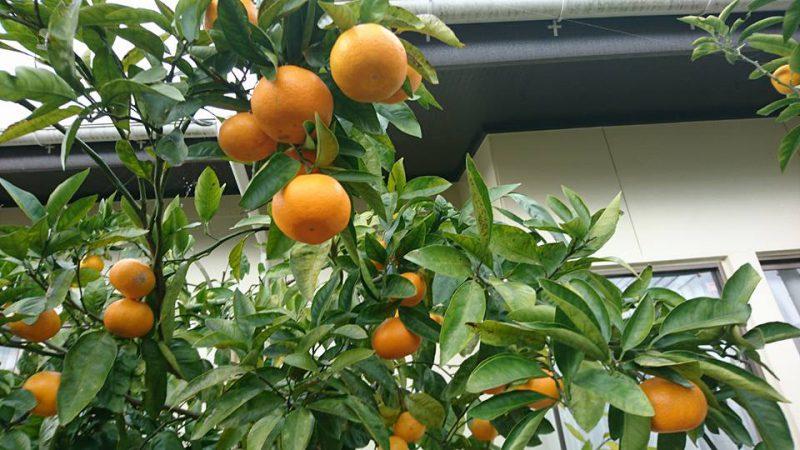 ミカンや柚子などの柑橘類
