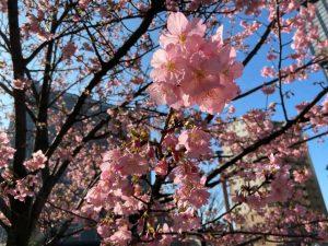 県議会脇の公園の桜