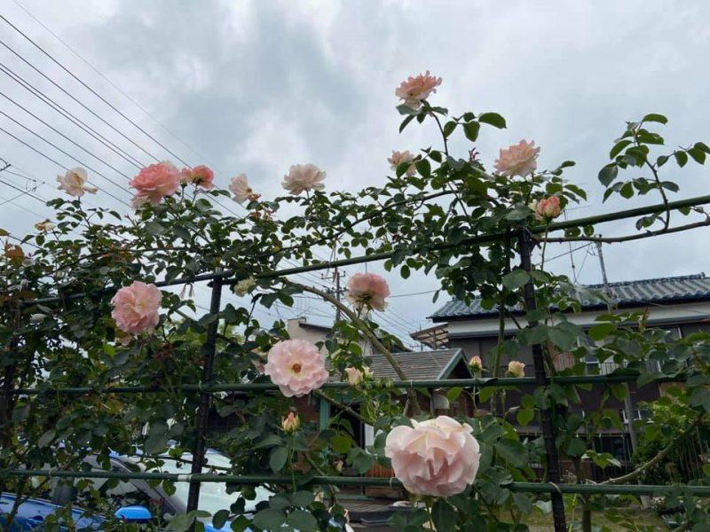 佐倉市新町「ゆめガーデン」バラ