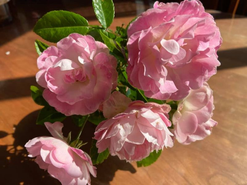 最盛期を迎えた庭のバラ