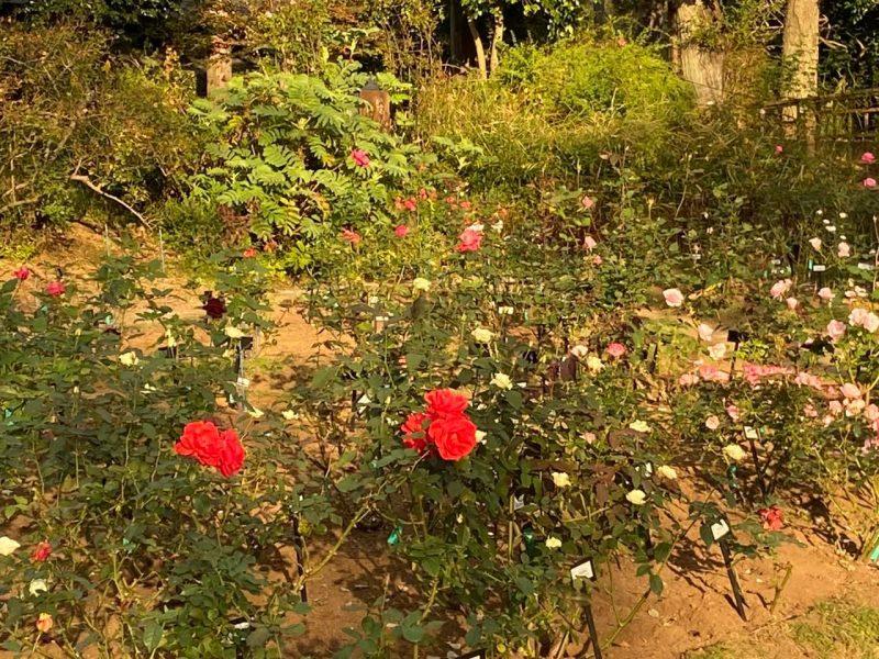 佐倉草ぶえの丘のバラ園