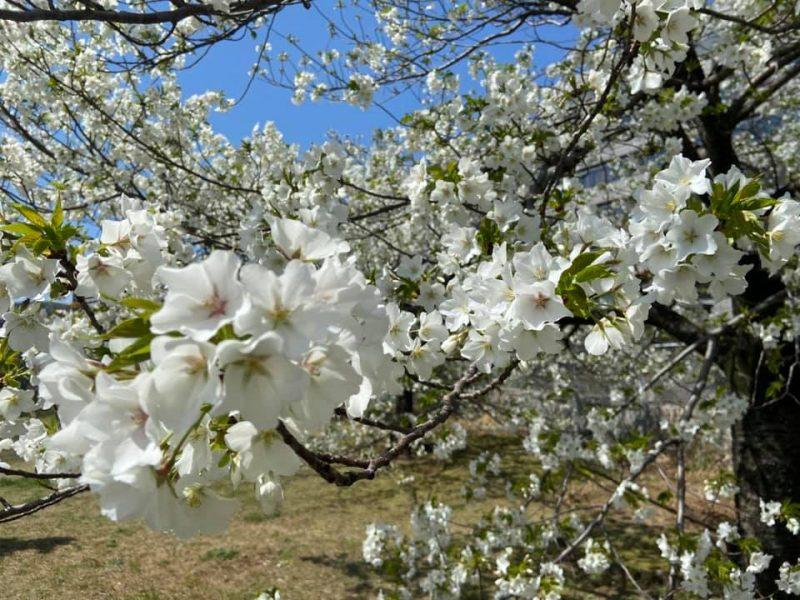 春爛漫/ 桜の季節