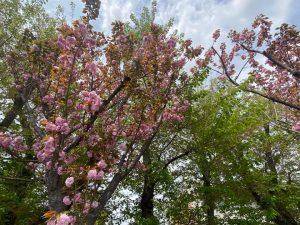 八重桜が満開